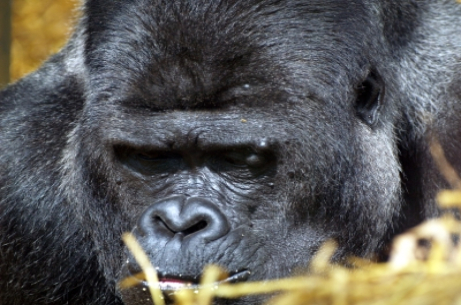 What do gorillas and humans have in common?
