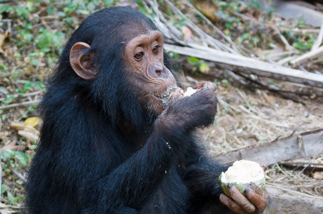 Chimps select the right tool for the job at hand