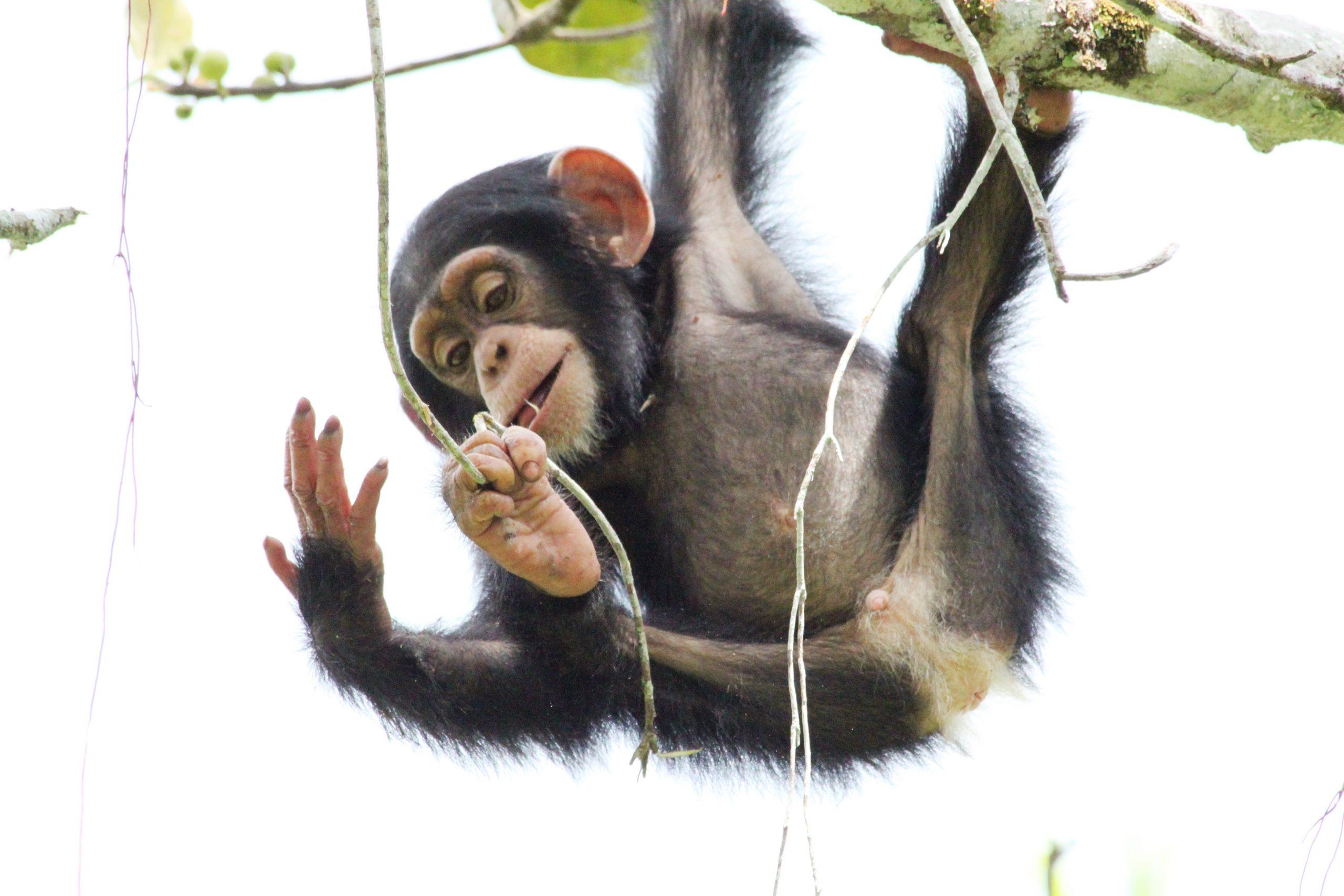 Tool use is 'innate' in chimpanzees, but not bonobos