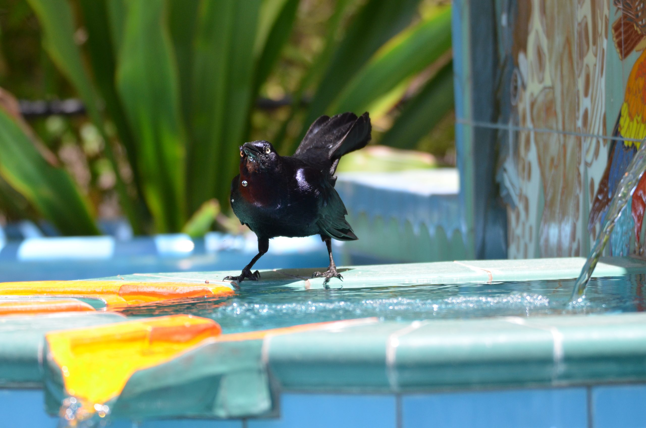How grackles have adapted to survive