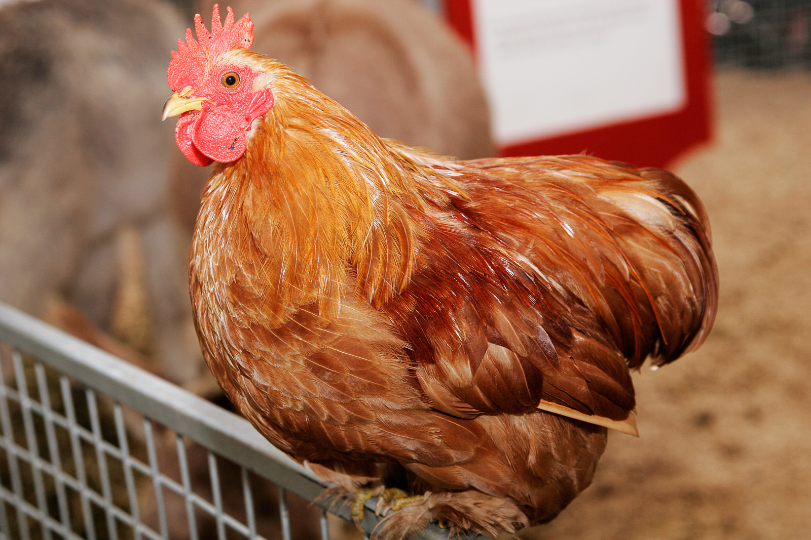How chickens can help the poor