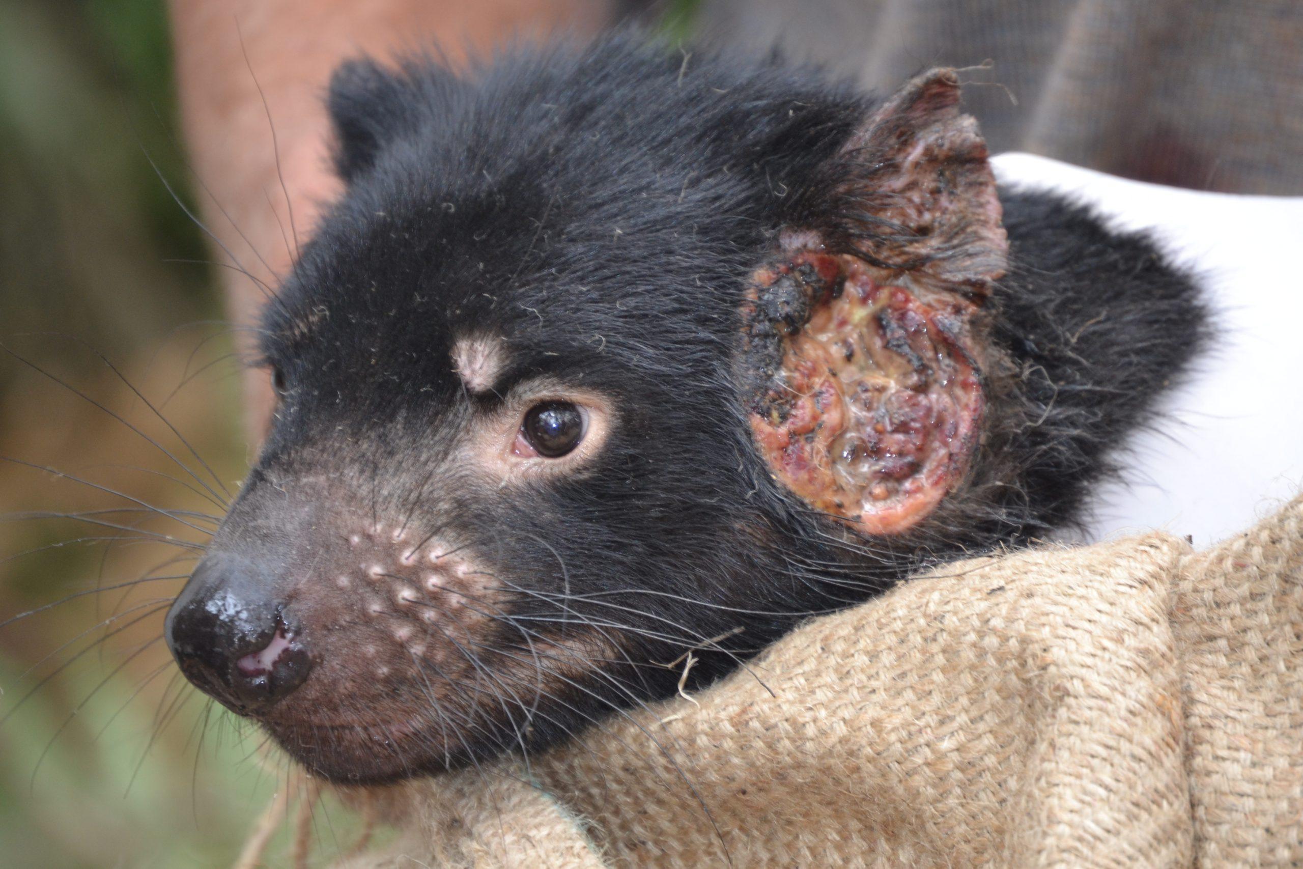 Human drugs could treat transmissible cancers in Tasmanian devils