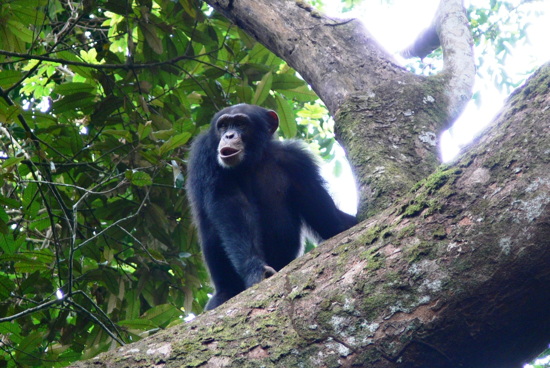 First evidence of crab fishing by chimpanzees