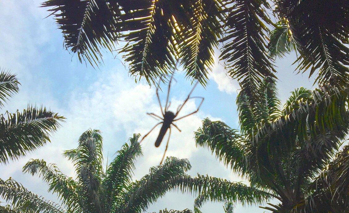 Oil palm replanting may decrease invertebrate biodiversity