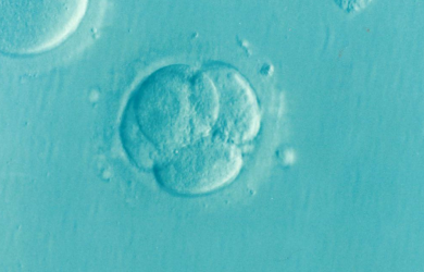 New in vitro model could predict foetal abnormalities more reliably